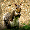 Click here to play Drama Squirrel