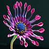 Click here to play African Daisy