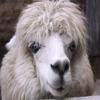 Alpaca Jigsaw