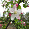 Apple Blossom Jigsaw