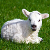 Click here to play Baby Lamb
