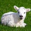 Baby Lamb Jigsaw