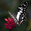 Black and White Butterfly Jigsaw