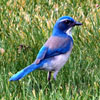 Click here to play Blue Bird