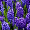 Blue Hyacinths Jigsaw