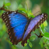 Click here to play Blue Morpho