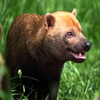 Bush Dog Jigsaw