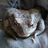 Close Toad Jigsaw