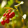 Cowberry Jigsaw
