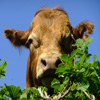 Cow Over the Hedge Jigsaw