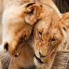 Click here to play Cuddling Lions