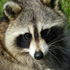Cute Raccoon Jigsaw