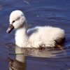 Click here to play Cygnet