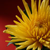 Click here to play Dandelion Closeup