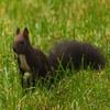 Dark Squirrel Jigsaw