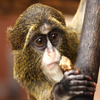 Click here to play De Brazza Monkey