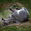 Dusty Zebra Jigsaw