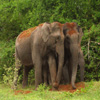 Elephant Couple Jigsaw