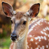 Click here to play Fallow Deer