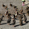 Feeding The Ducks Jigsaw