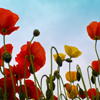 Field Poppy Jigsaw
