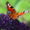 Fly And Butterfly Jigsaw