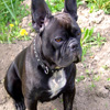 Click here to play French Bulldog