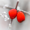 Frosty Red Berries Jigsaw