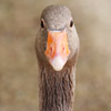 Gazing Goose