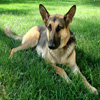 Click here to play German Shepherd