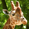 Click here to play Giraffe 2