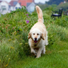 Click here to play Golden Retriever