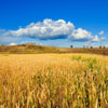 Golden Wheat Field Jigsaw