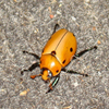 Click here to play Grapevine Beetle