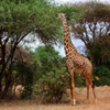 Click here to play Hungry Giraffe
