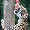 Hungry Leopard Jigsaw