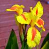 Iris Flower Jigsaw
