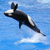 Click here to play Killer Whale
