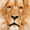 King Lion Jigsaw