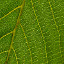 Click here to play Leaf Veins