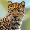 Click here to play Leopard
