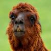 Click here to play Llama