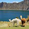Llama Watch Jigsaw
