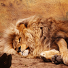 Lying Lion Jigsaw