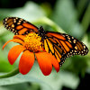 Monarch Butterfly Jigsaw