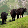 Mountain Cows Jigsaw
