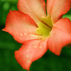Orange Flower Jigsaw