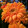 Orange Large Flower Jigsaw
