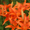 Orange Lilies Jigsaw