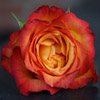 Orange Rose Jigsaw